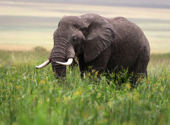 An elephant with full tusks wanders through the tall green grasses in Meru National Park, Kenya