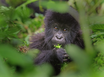 A baby gorilla smartly chomps down on a leaf while being framed by the branches of another tree in Volcanoes National Park, Rwanda