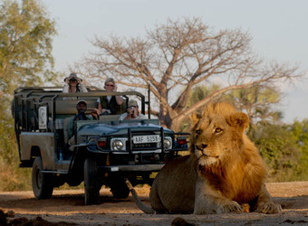 A lion majestically looks away from the sun while laying on his stomach with a safari vehicle full of guests watching in Lower Zambezi National Park