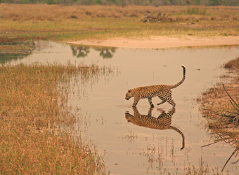 A leopard walks across a section of the Okavango Delta and his beautiful reflection is clear in the waters, Botswana