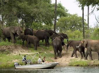 A herd of elephants bumbles around on the shore of the Zambezi River as safari guests and their guide watch safely from a boat near Victoria Falls, Zimbabwe.
