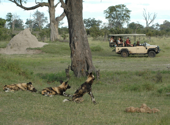 A few wild African dog rest on a patch of grass as a group of safari guests watch from the safety of their safari vehicle in Selinda Reserve, Botswana
