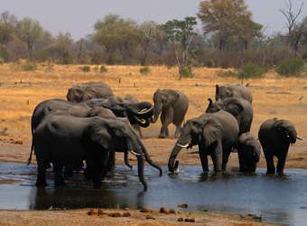 A herd of elephants and elephant babies take a welcome swim and drink in a watering hole in Linyanti Reserve, Botswana