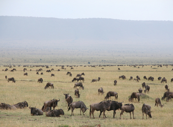 A herd of wildebeest spread across the vast plainlands of the Maasai Mara National Reserve, Kenya