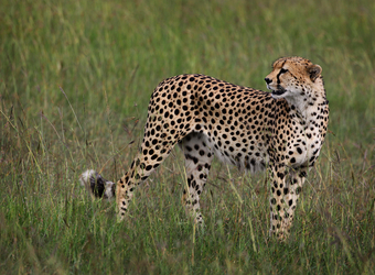 A solitary cheetah gazes over its shoulder amongst the grasses in Maasai Mara Naitonal Reserve, Kenya