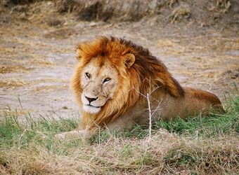 A fully grown, prideful male lion dolefully looks at the camera with his gorgeous full orange main in Ngorongoro Crater, Tanzania