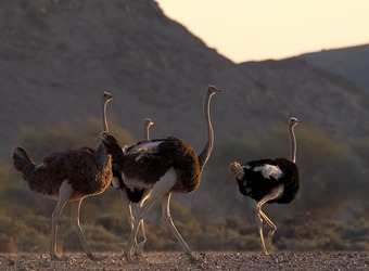 A few ostriches walk into the setting suns last rays with imposing mountains all around in Damaraland, Namibia