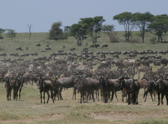 A huge herd of wildebeest expands across the plainlands grazing in the famed Serengeti National Reserve, Tanzania
