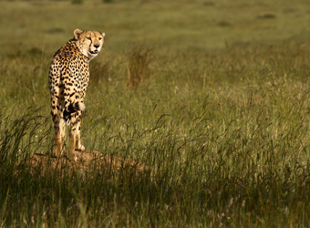 A solitary cheetah perches on top of a pile of sand to survey the surrounding grasslands in Serengeti National Reserve, Tanzania