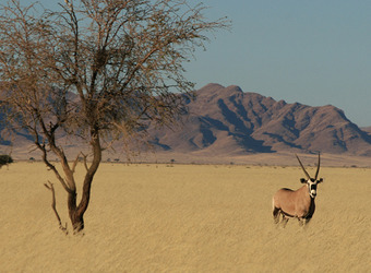 A lone gemsbok stands amidst a sea of grasses next to a solitary tree with looming mountains rising into the distance in Etosha National Park, Namibia