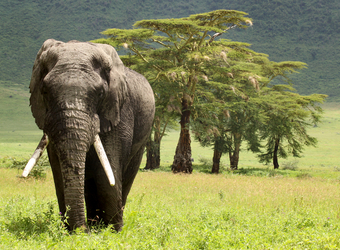 A large male African elephant walks among the grasses with a grove of small acacia tree directly behind him in the Ngorongoro Crater, Tanzania
