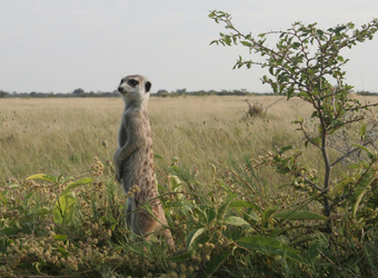 A meerkat stands back on its haunches to survey the surrounding grassland for potential dangers in the Kalahari Desert, Namibia