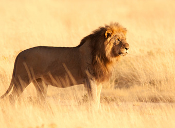 A solitary lion with a full orange mane and pot belly stares into the shining sun amid shimmering grasses in Etosha National Park, Namibia