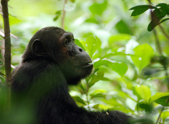 A chimp chomps on a leaf in the deep jungle of Mahale Mountains National Park, Tanzania