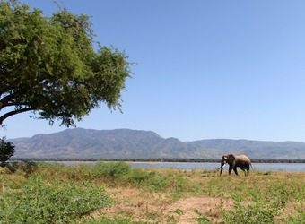 Lone elephant walks along the green banks of the Zambezi River, stunning mountains and encompassing tree, Mana Pools National Park, Zimbabwe