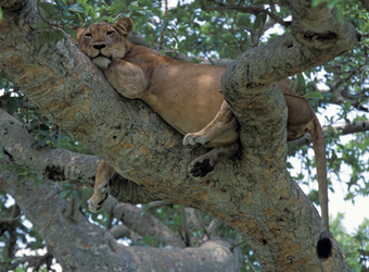 A famed tree climbing lion spreads out on the bough of a tree into a relaxed position with her tail hanging down in Queen Elizabeth National Park, Uganda