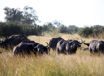 A group of African water buffalo graze on the African savanna while on constant alert for any possible predators in Hwange National Park, Zimbabwe