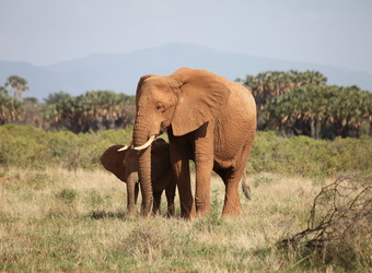 An elephant mother shelters her baby elephant with palm trees in the background in Samburu National Reserve, Kenya