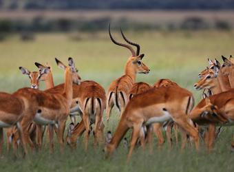 A herd of African impala graze in the vibrant green grasses as a single male looks for danger in Lake Manyara National Park, Tanzania