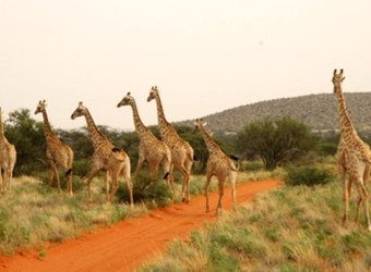 Group of several giraffes ambles across a safari road towards the sheltering trees in the southern Kalahari, South Africa