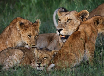 Mother lion with her three adorable spotted lion cubs enjoy a nice bonding moment resting in the grass in Zululand, South Africa