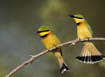 Two petite, gorgeous colored green and yellow African songbirds perch on a twig with their black tail feathers visible in South Luangwa National Park