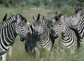 A group of zebras appear to be holding a pow wow amidst the tall grasses in Lake Mburo National Park, Uganda