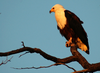 African fish eagle surveys the surrounding landscape from his high perch on a tree branch in Lake Mburo National Park, Uganda