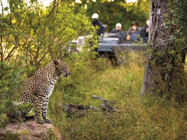 Large_lion-sands-leopard__800x532_