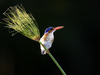 Pelo Camp, Malachite Kingfisher grasps onto a leaning blade of grass, amazing bird photography, blue and orange markings, Botswana, Africa safari