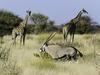 Khalahari Plains Camp, a pair of ambling giraffes in the plains with the safari camp in the background, inquisitive animals, Botswana, Africa safari