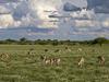 Khalahari Plains Camp, herd of African impala, beautifully curved horns, intricate animal markings, grazing on flowers and grasses, Botswana