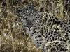 Khalahari Plains Camp, intense leopard staring down camera, cluster of grasses, white leopard, pink nose, Botswana, Africa safari