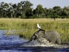 Savuti, a baby elephant jolts into the water looking to escape from the blistering Botswana sun as a heron takes flight, Africa safaris
