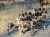Savuti, a pack of hyenas all stand at attention with ears alerted for the nearest sign of other life in Botswana, Africa safaris