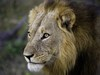 Duma Tau Camp, regal looking lion, full maned male lion, peircing eyes, scarred nose, Africa, Botswana safari, Okavango Delta