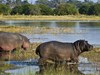 Duma Tao Camp, bouncing hippo through lagoon feasting on plants and reeds, pink bellied hippo, beautiful African wilderness, large green bushes