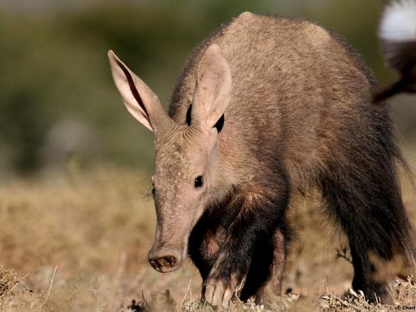 Large_aardvark__1024x683_
