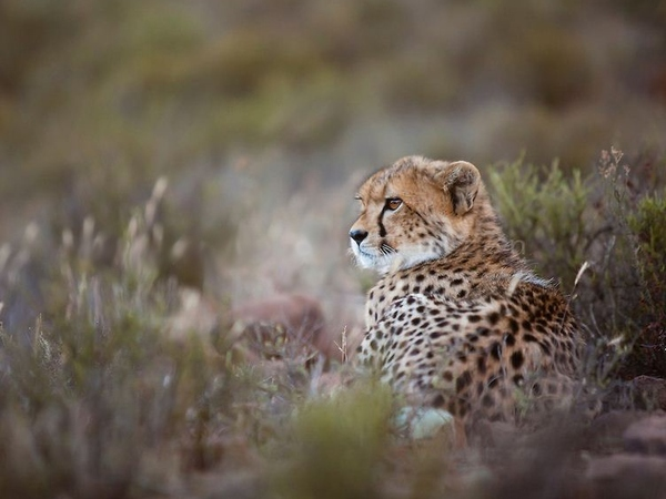 Large_cheetah_look__871x580_