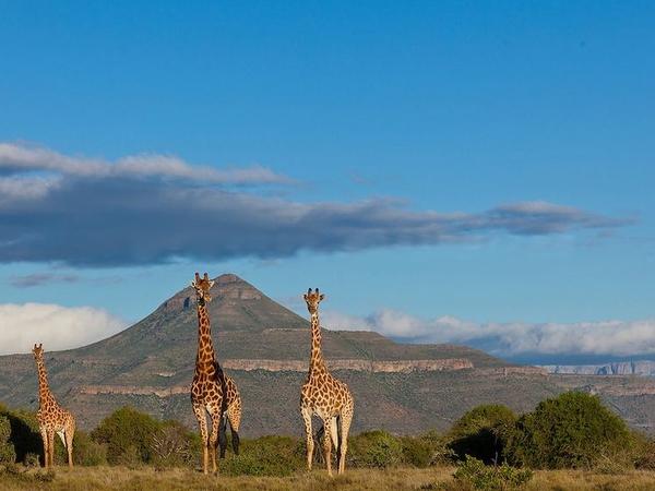 Large_giraffe_landscape__875x583_