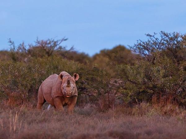 Large_rhino__873x544_