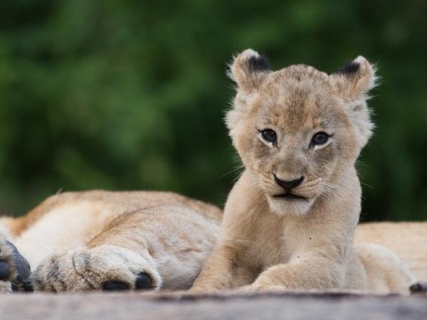 Large_ulusaba_safari_-_11
