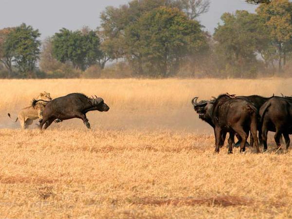 Kwando Lebala Camp | Botswana Safari Camps | iSafari com