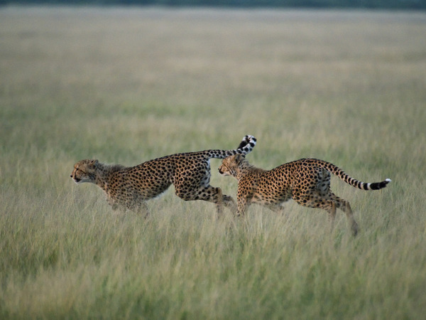 Large_mm_kalahariplains_wildlife_09_42