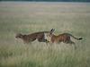 Kalahari Plains Central Kalahari cheetahs
