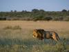 black maned Kalahari Lion