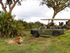 Jacana Camp, large male full maned lion, visitors in a safari vehichle extremely close, squishy green grass and large bush plants, Botswana, Africa