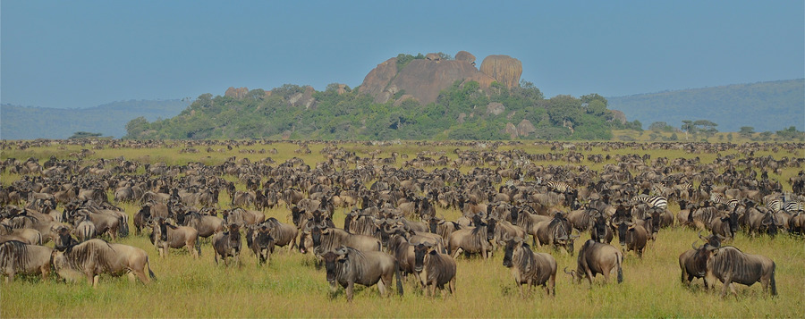Thousands of wildebeest migrate across the plains of Tanzania, zebras migrate across the plains, massive rock boulders surrounded by dense flora
