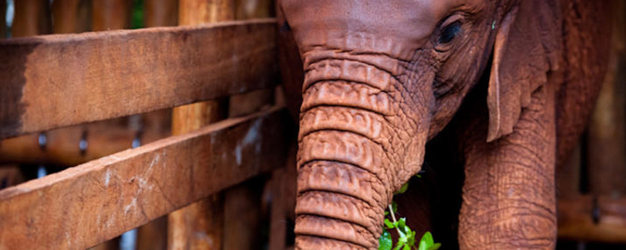 An orphan baby elephant has a bite to eat at The David Sheldrick Wildlife Trust, baby elephant, baby animals, orphan animals, vibrant green plant