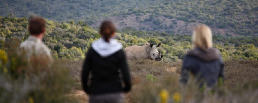 Tourists are treated to a close encounter with African rhino, Kwandwe Game Reserve, green shrubbery as far as the eye can see, rhino horn, photography
